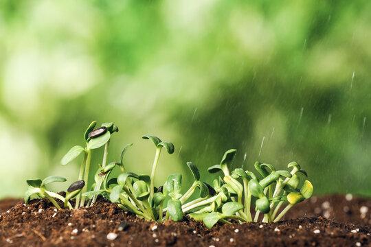 Green seedlings growing in garden