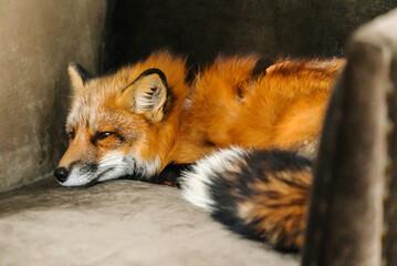 Fototapeta premium red fox on the chair