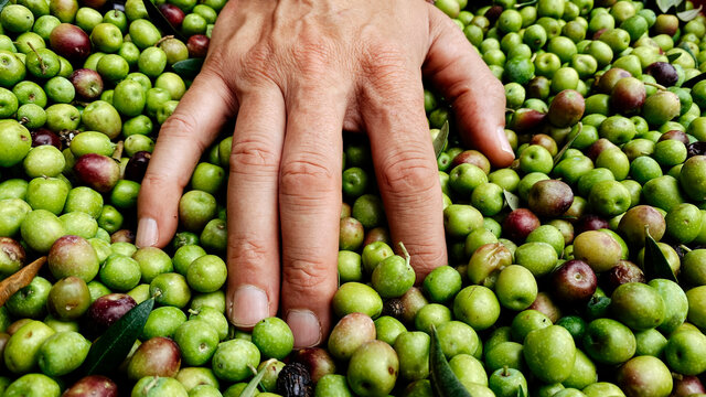 man heaps freshly collected olives