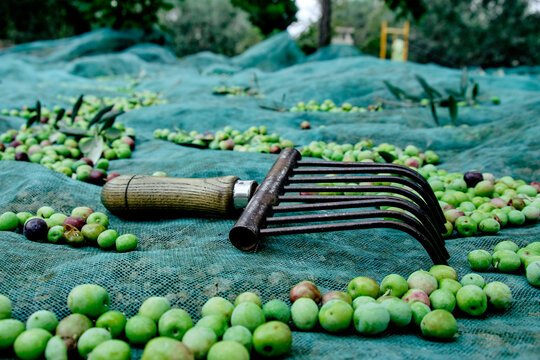 olives and tool used to collect olives on a net