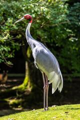 Fototapeta premium Sarus crane, Grus antigone also known as Indian sarus crane