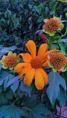 Obraz flor tithonia diversifolia - fototapety do salonu
