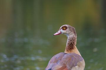 Fototapeta premium Closeup shot of an Egyptian goose