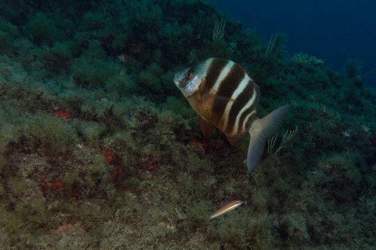 Zebra sea bream (Diplodus cervinus) in Mediterranean Sea