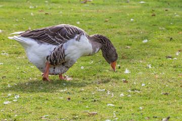 Fototapeta premium Closeup shot of an Egyptian goose eating a grain