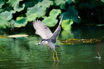 Fototapeta premium heron hunting fish