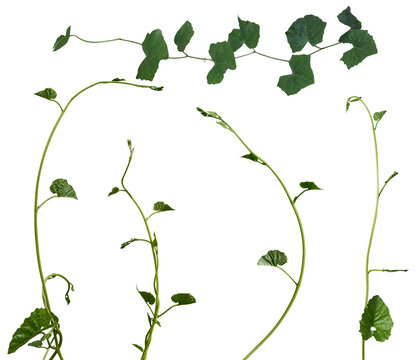 Vine plant, Ivy leaves collection isolated on white background, Plant cutout Clipping path.