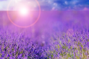 Sunset over a beautiful violet lavender field