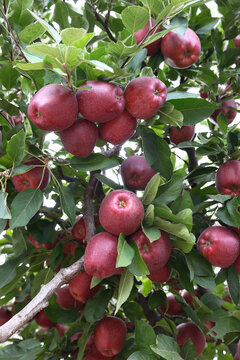 Red apples growing on apple tree.